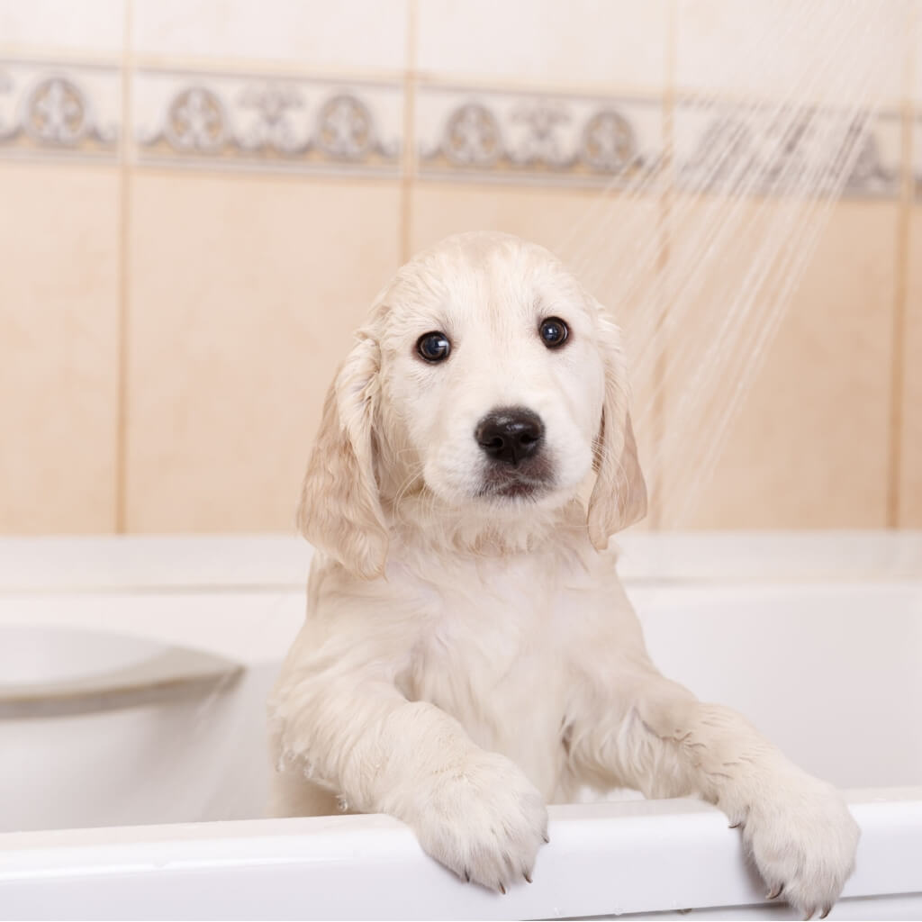 Dog bathing for fresh coat smell