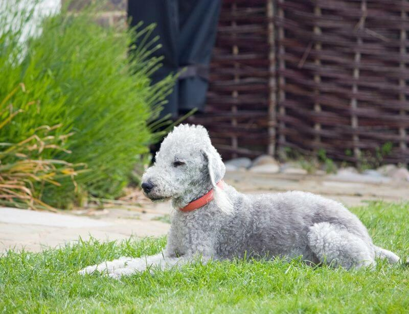 Bedlington Terrier hypoallergenic dog
