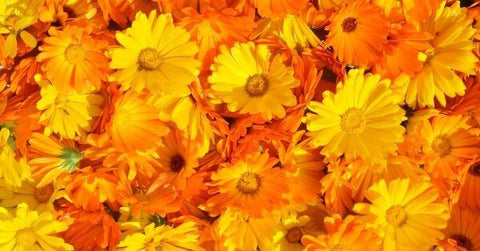 Calendula for dogs