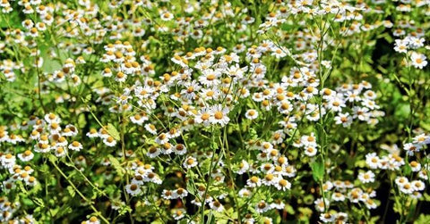 Chamomile for treatment itchiness on dogs