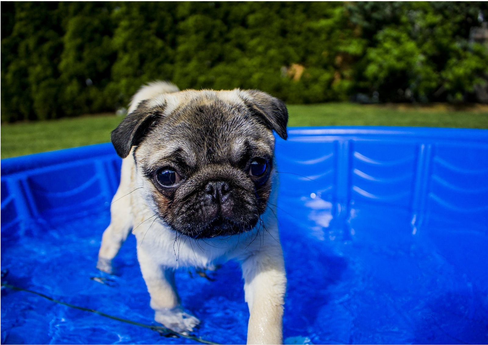 Dog cooling in swimming pool