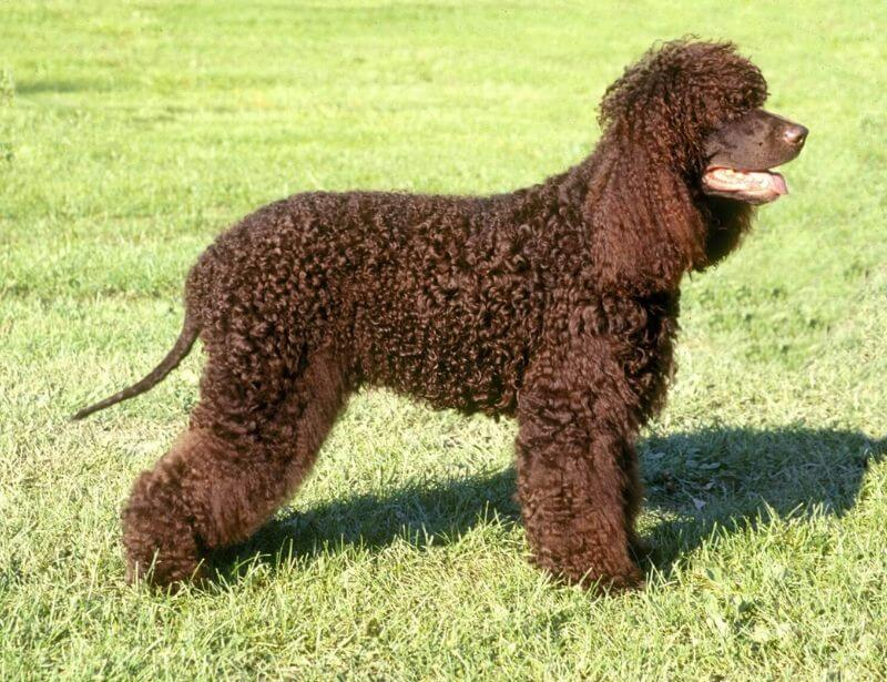 Irish Water Spaniel hypoallergenic dog