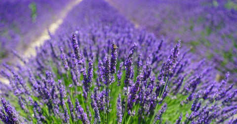 Lavender oil for dogs