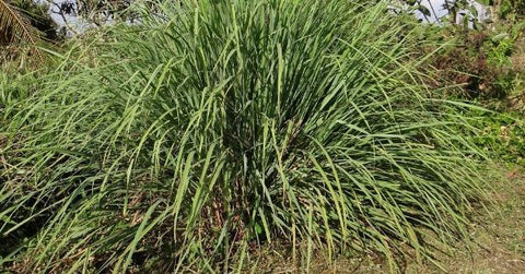 Is lemongrass safe for dogs