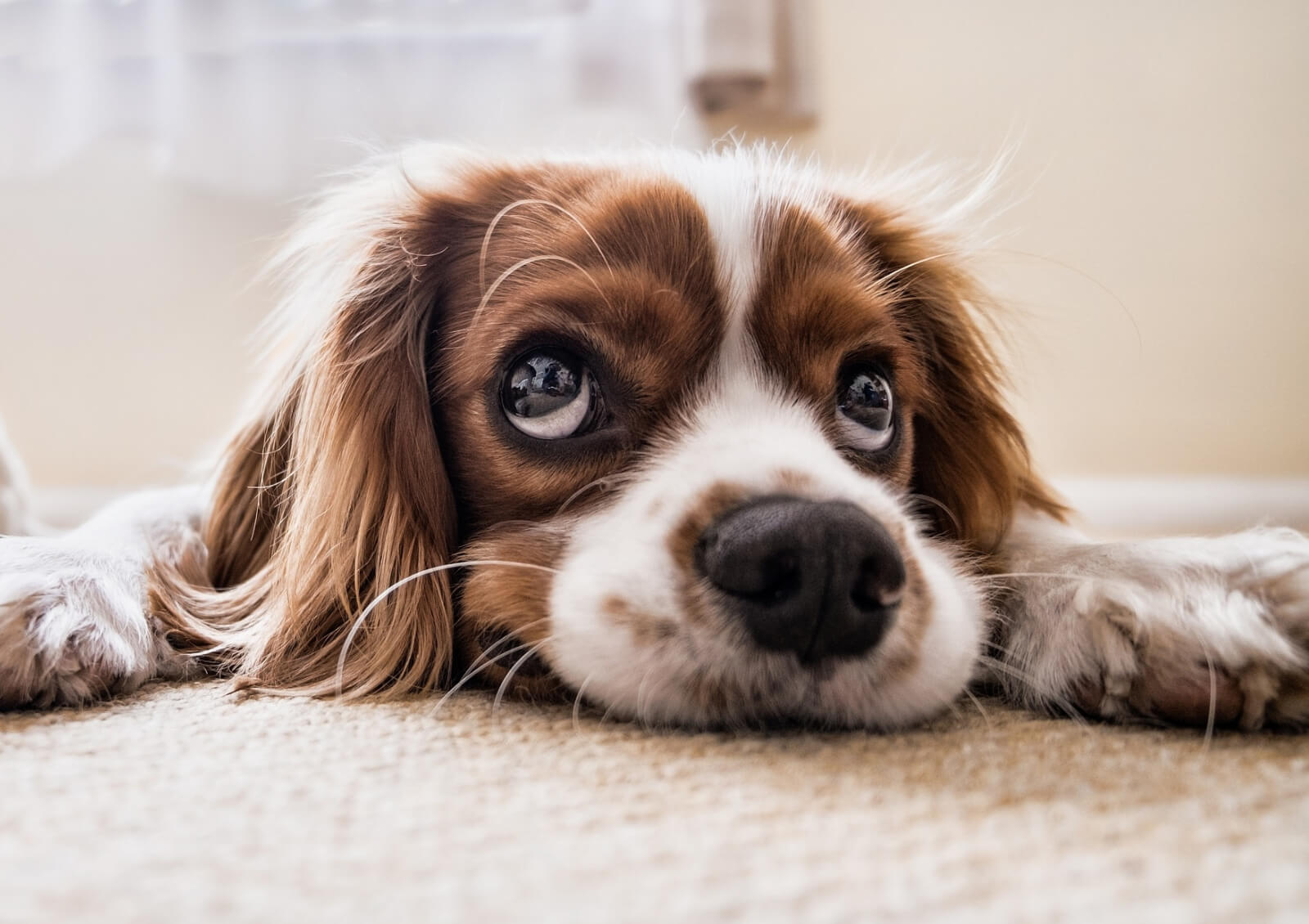 Dry cracked dog nose treatment tips