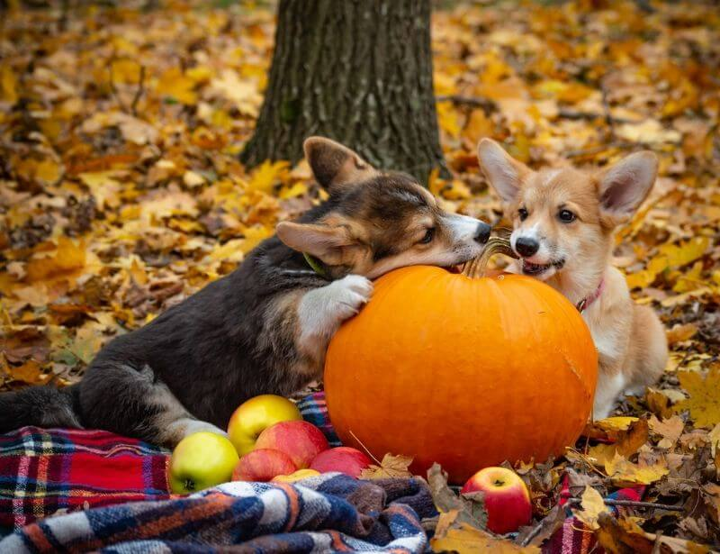 Pumpkin for dog constipation