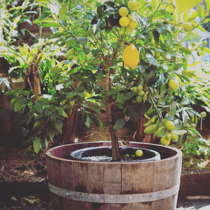 Fruit tree and wine barrel