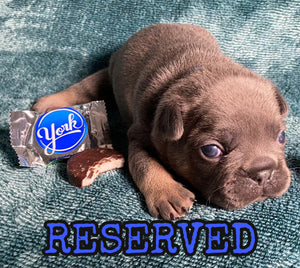 """York"" - Male Blue & Tan [ADOPTED]"