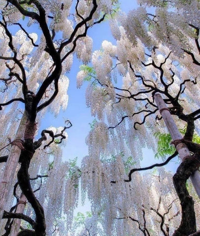 Trees with white leaves