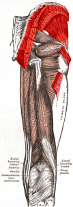 Anatomy of the Gluteal Muscles