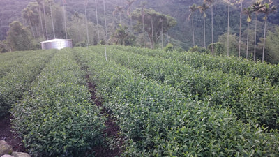 Taiwan Alishan High Mountain - Hong Oolong