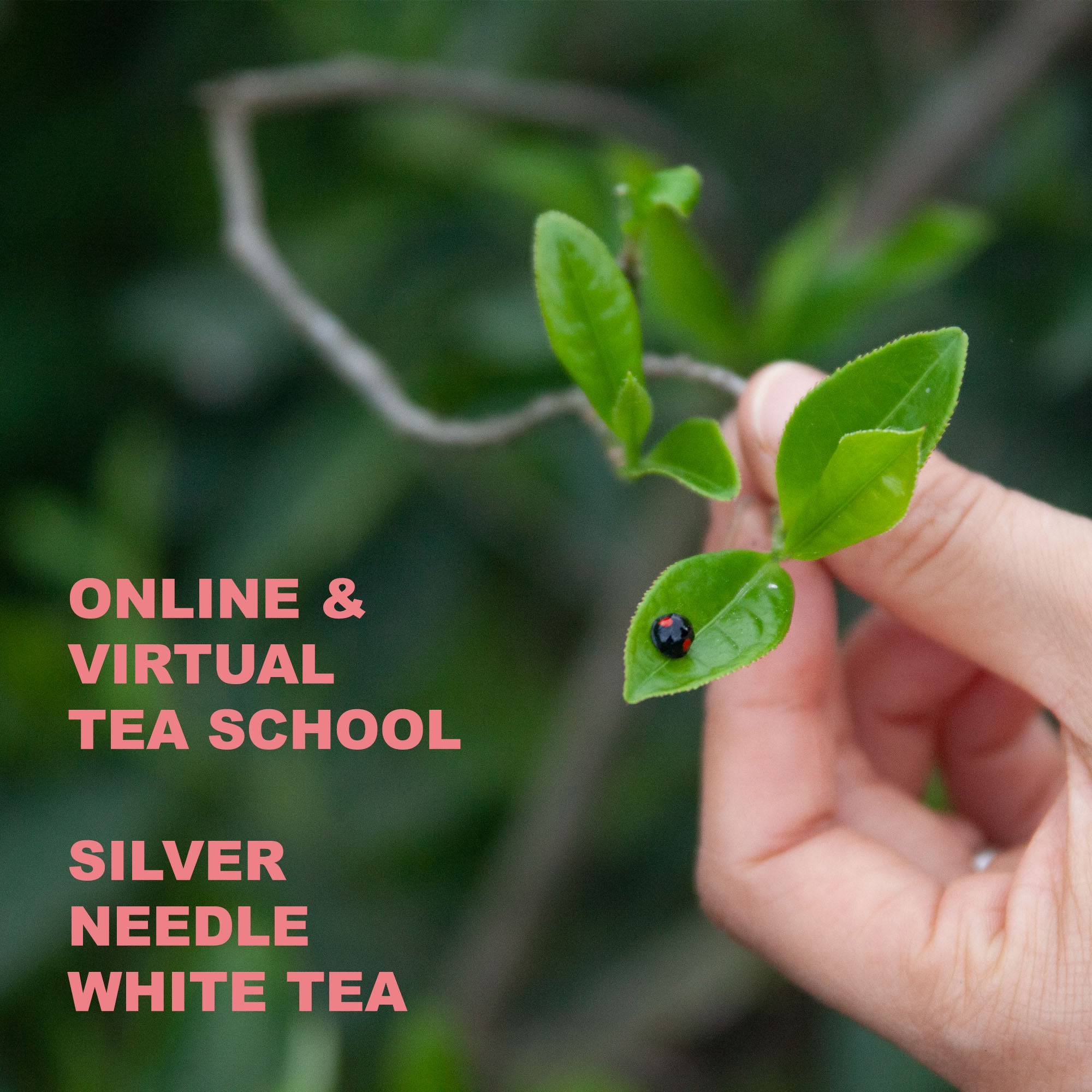 VIRTUAL TEA SCHOOL - SILVER NEEDLE WHITE TEA
