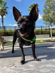 small black chihuahua with a green harness in a park on a cement block