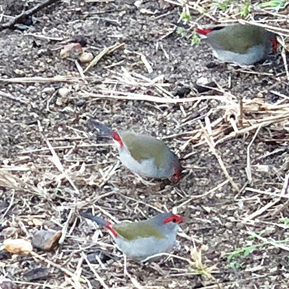 Red Browed Finches in Mosman Sydney