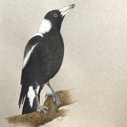 Australian Magpie Watercolour Painting by Amanda Gosse
