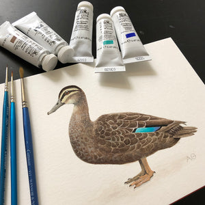 Pacific Black Duck Fine Art Print by Amanda Gosse