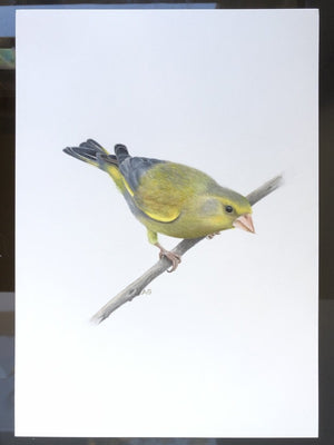 Greenfinch | Gouache | A4