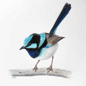 Superb Fairy Wren original artwork gouache and pencil