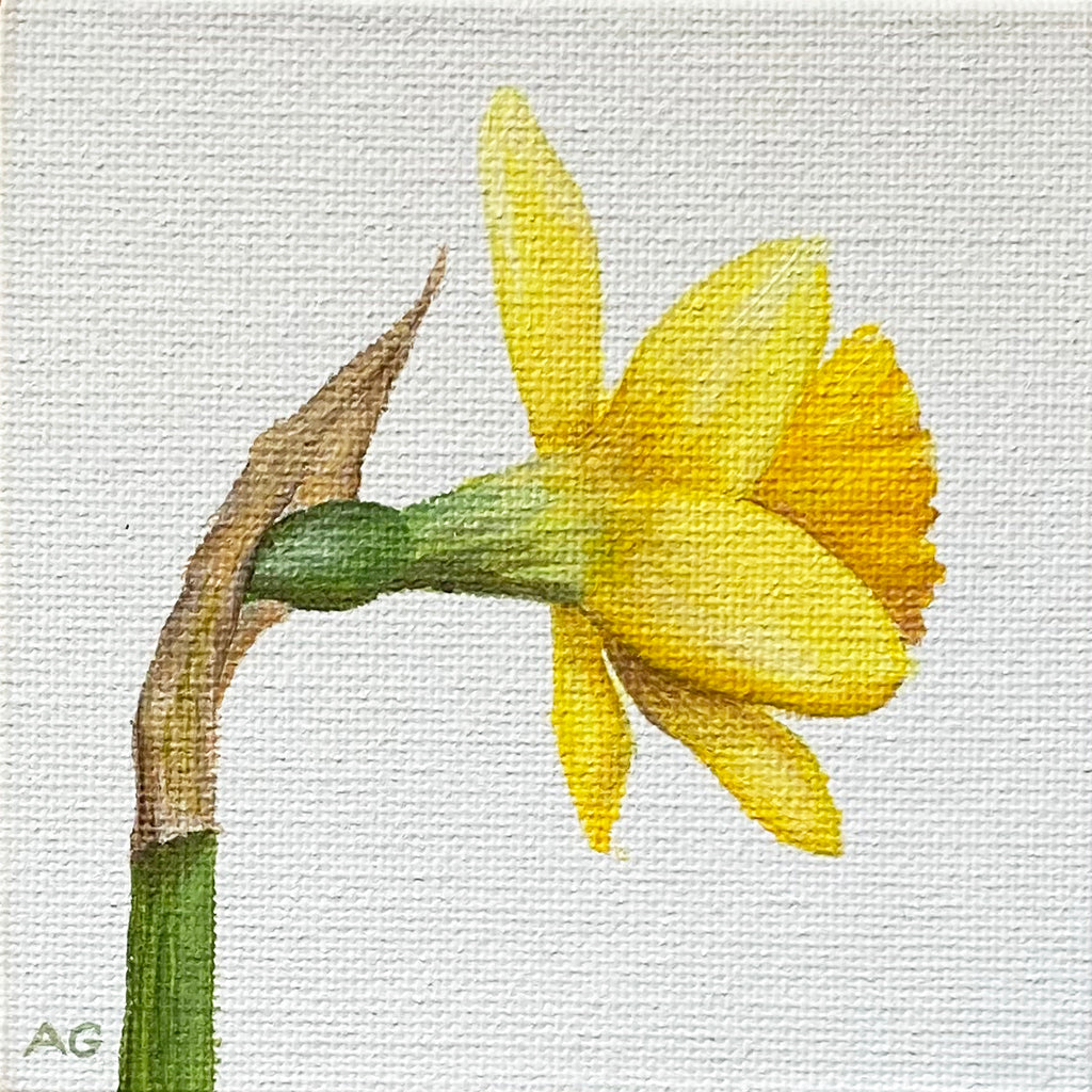 Daffodil miniature flower painting acrylic on 10 x 10cm canvas board by Amanda Gosse