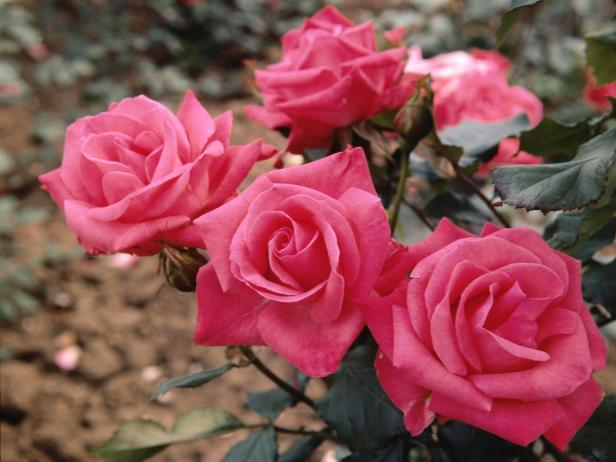 Add A Single Scented Rose