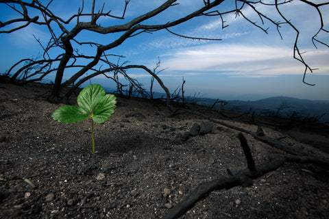 Regrowth after a wildfire.