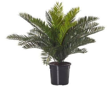 Rogue Cycas Bush Mini Garden Pot 42cm Green BOM