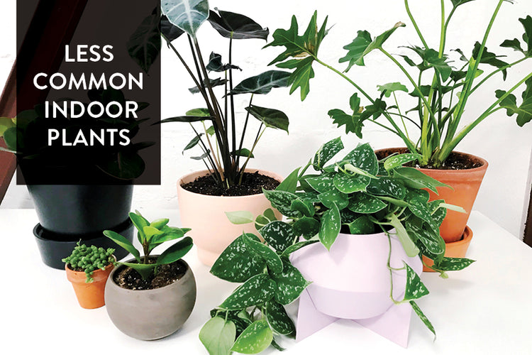 Round Up: Our Favorite Less Common Indoor Plants