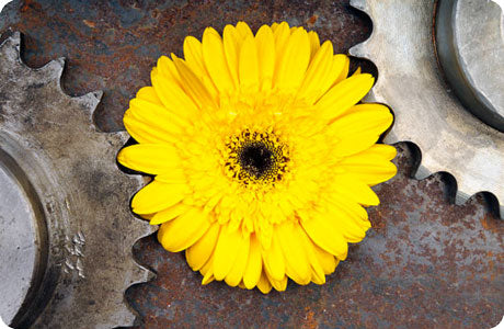 A sunflower with it's petals lain and aligned within a set of two gears