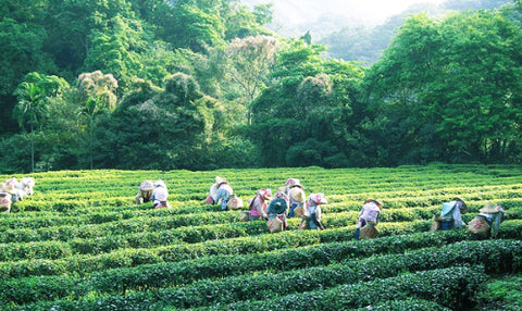 The Oriental Beauty Tea used in 23.5N is naturally farmed from Emei Township in Hsinchu County, Taiwan.