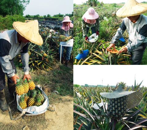 The pineapple 23.5N uses is naturally farmed from Minxiong Township in Chiayi County, Taiwan.