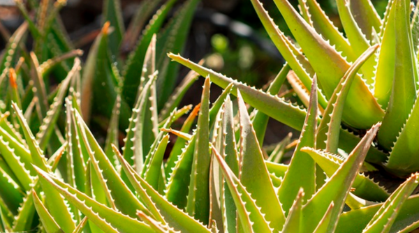 Aloe Growing In The Wild