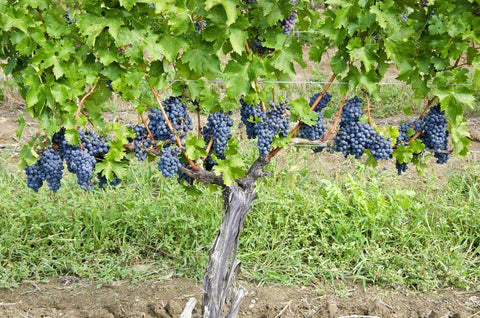 Cabernet Sauvignon, the king of red grapes