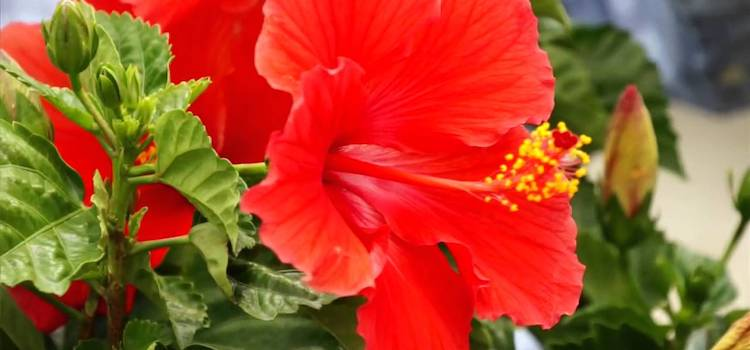 Hibiscus flowers are used in O Essentials weight loss supplement