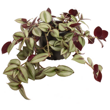 Load image into Gallery viewer, Tradescantia Zebrina