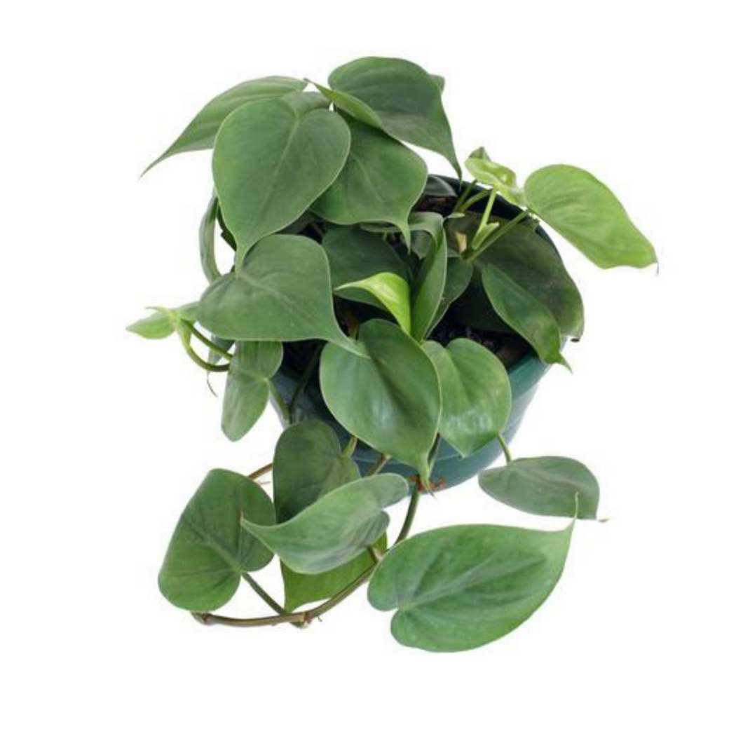 Large Heartleaf Philodendron