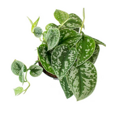 Load image into Gallery viewer, Satin Pothos