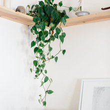 Load image into Gallery viewer, Heartleaf Philodendron