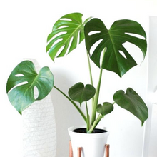 Load image into Gallery viewer, Monstera Deliciosa Small