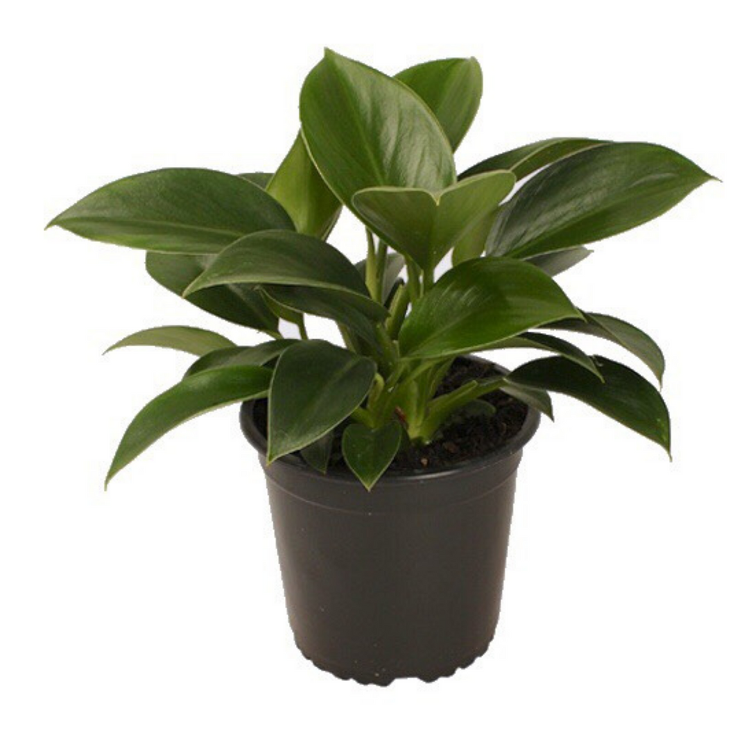 Potted Philodendron Green Princess