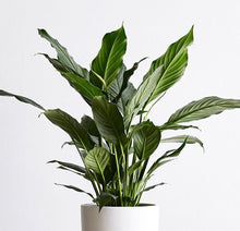 Load image into Gallery viewer, Large Spathiphyllum (Peace Lily)