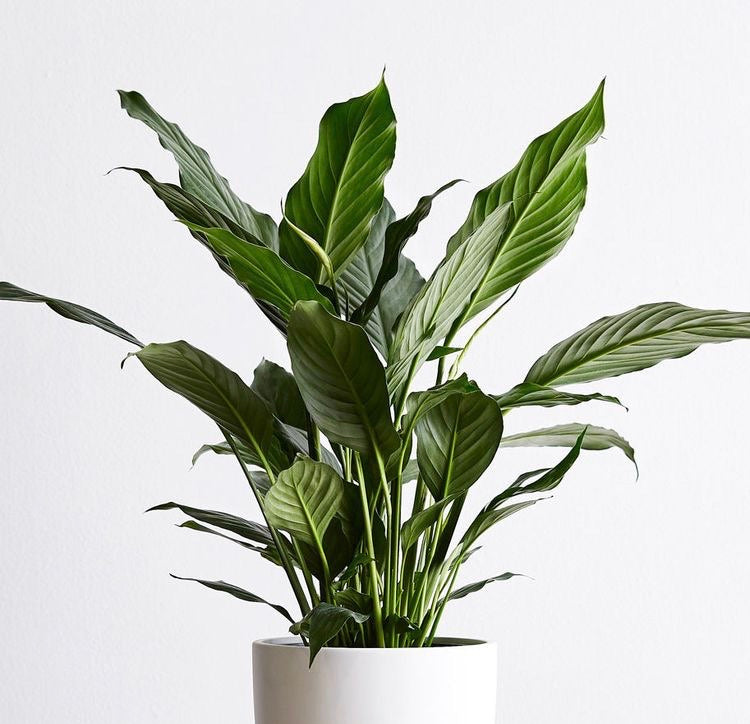 Large Spathiphyllum (Peace Lily)