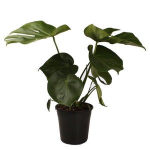 Monstera Deliciosa Large