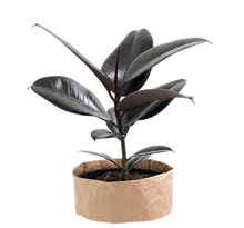 Load image into Gallery viewer, Ficus Black Knight