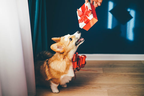 Dog with red bow on sniffing small red gift box