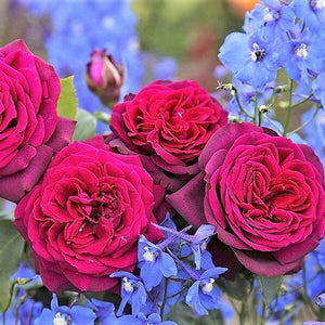 Most Fragrant Roses for Your Garden