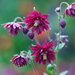 Aquilegia vulgaris : RUBY PORT
