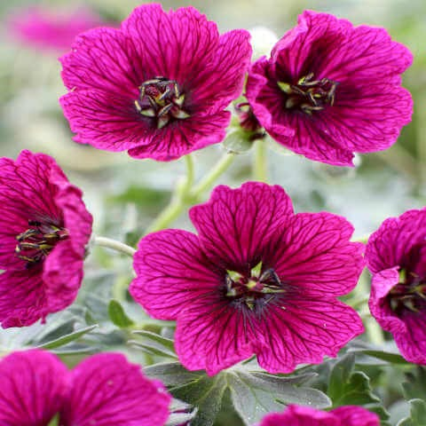 Geranium cinereum : JOLLY JEWEL PURPLE