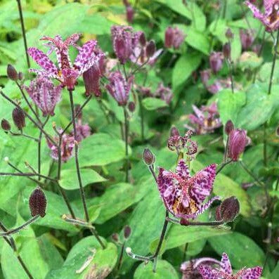 Tricyrtis formosa : PURPLE BEAUTY
