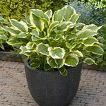 Hosta : SO SWEET