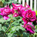 Hybrid Tea rose BIG PURPLE